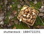 Birch Bolete Mushrooms In A...
