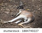 Kangaroo Relaxing Resting In...