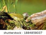 The European Green Woodpecker ...