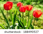 red tulips on the field | Shutterstock . vector #188490527