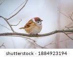 Small Bird Sparrow Sitting On...