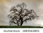 Lone Oak Tree On Hilltop With...