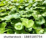 Centella Asiatica  Medicinal...