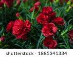 Carnation Flower In The Graden