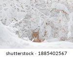 Winter Wildlife Portrait. Lynx  ...