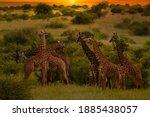 Giraffes In The Tsavo East ...