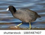 American Coot Wading In A Pond
