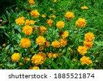 Coreopsis Grandiflora Early...