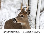 Young White Tailed Deer In The...