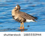 A Greater White Fronted Goose...