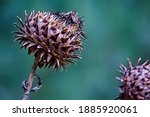 Dead Thistle Heads In Winter....