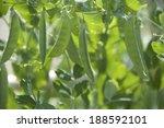 Pea Snack On Plant