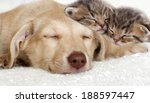 Stock photo puppy and kittens sleeping together 188597447