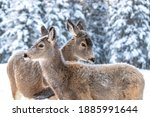 Two beautiful mule deers standing next to each other with forest, woods background in winter time with snow on their bodies.
