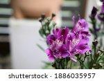Beautiful Purple Astroemeria...
