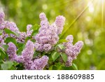 purple lilac on blurred background of colored bokeh in sun light - stock photo