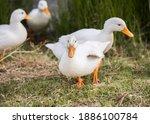 Pekin Or White Pekin Ducks...