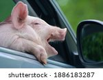 The Piglet Yawns Sadly From The ...