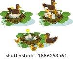 nest of wild duck  mallard ...   Shutterstock .eps vector #1886293561