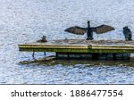 A Cormorant Getting Ready For...