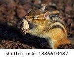 A Cute Chipmunk Happily Absorbs ...