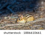 Close Up Of A Chipmunk  With...