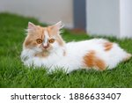 the cute persian cat is sitting ... | Shutterstock . vector #1886633407