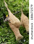 Bird Weaver Building His Nest...