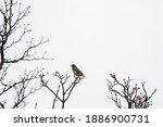 Song Thrush Bird  Turdus...