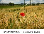 Corn Poppy Flower And Buds In...