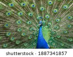 The Indian Peafowl Or Blue...