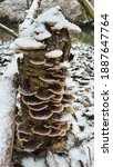 Fungus On A Tree  Polypore...