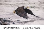 Eagle Flies Low Over River