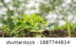 Tender Green Basil Seedling...
