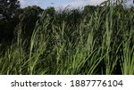 High Thicket Of Green Typha...