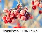 Red Viburnum Berries Are...