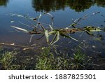 Broken Reed Stick On The Water...