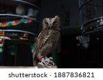 The Eurasian Scops Owl  Also...
