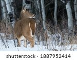 White Tailed Deer In Snowy...