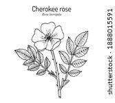 cherokee rose  rosa laevigata ... | Shutterstock .eps vector #1888015591