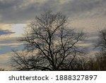 Silhouette Of A Bare Oak Tree...