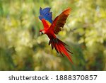 Red Blue Macaw Parrot Flying In ...