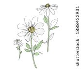 Daisy Chamomile Flowers Hand...