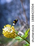 Bumblebee Taking Flight From A...