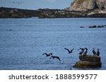 A Flock Of Japanese Cormorants...