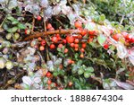 Cotoneaster Branches With...
