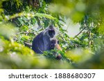 Silvered Langur  Silvery...