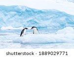 A Gentoo Penguin Couple Has A...
