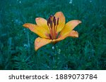 Beautiful Flower Of Yellow...