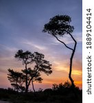 Pine Tree At Sunrise   On A...